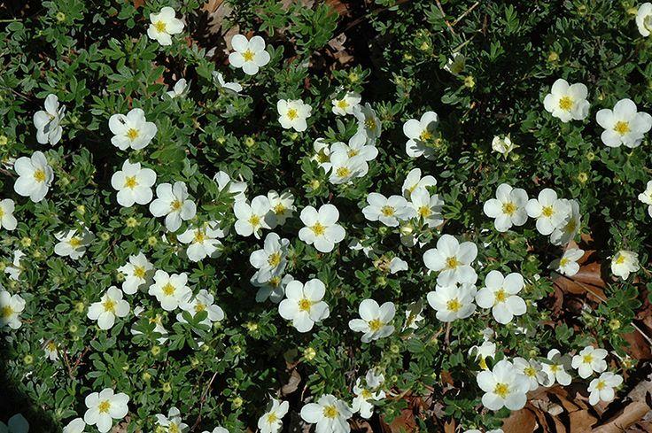 McKay's White Potentilla (Potentilla fruticosa 'McKay's White') at Pasquesi Home & Gardens