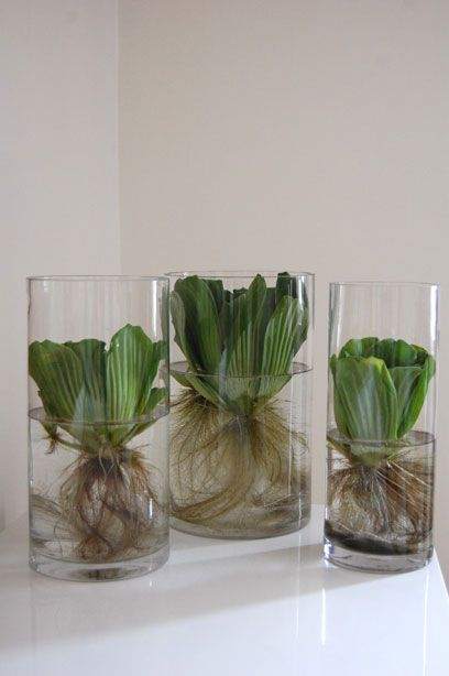 water lettuce or water hyacinths inside in a small cylinder, to be grown outdoors in a large cylinder (hee) I think they would look pretty.