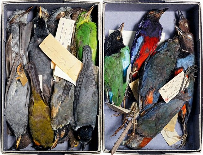 """""""Skin specimens of birds, nineteenth century. The specimens are stuffed but not mounted, retaining their shape and dimensions if left flat (collections of the city of Strasbourg, Musée Zoologique, Strasbourg)."""" © Christine Fleurent"""