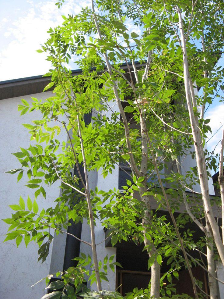 COAN「コアン」シンボルツリー「アオダモ」 : 庭園/ランドスケープデザイン日記