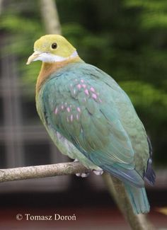 Pink-spotted Fruit-Dove