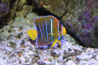 O Peixe-anjo-árabe (Pomacanthus asfur) é um peixe bem conhecido por seu uso em aquários de água salgada, mesmo que ele tende a ser um modelo mais tímido em relação aos outros, às vezes agressivo. A mãe vai colocar os ovos em um padrão de difusão de modo a que o jovem não vai lutar por comida e território.