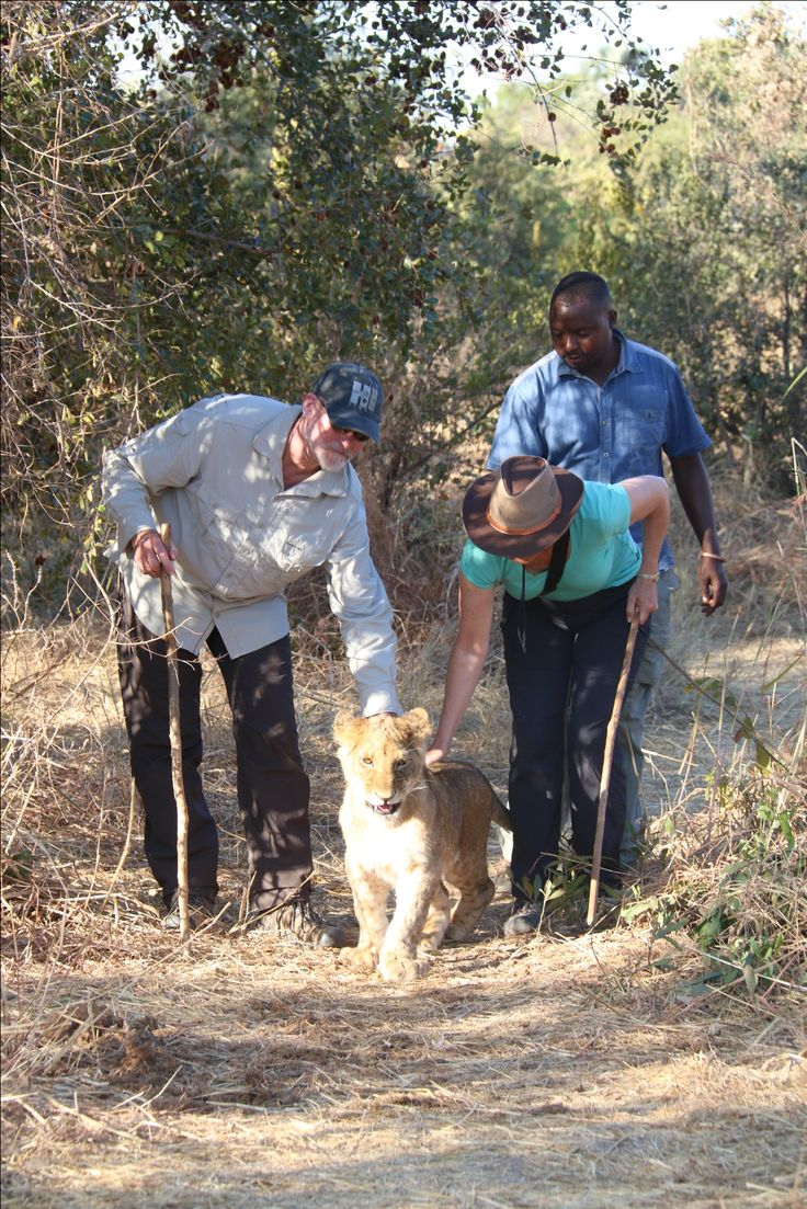 Walking with the lions  Lion Encounter Zimbabwe