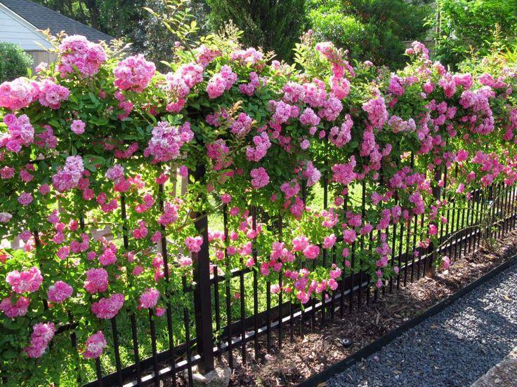 A 'Peggy Martin' rose blankets a garden fence in pink blooms. David Morello…