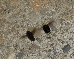 Bumble Bee Watch: Nests