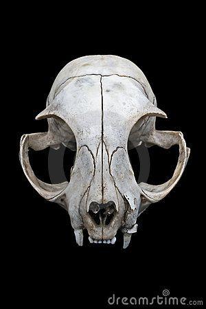 cat skull designs | Cat skull isolated on a black background.