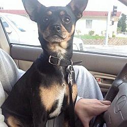 Whittier, California - Miniature Pinscher. Meet Buddie, a for adoption. https://www.adoptapet.com/pet/12660001-whittier-california-miniature-pinscher-mix