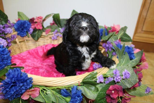 Cavachon Puppy For Sale In Tacoma Wa Adn 64137 On Puppyfinder