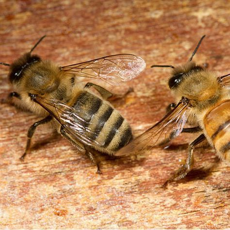 Different types of honey bees — different races — have different pros and cons. Learn more about which may be best for you as you learn how to keep bees.