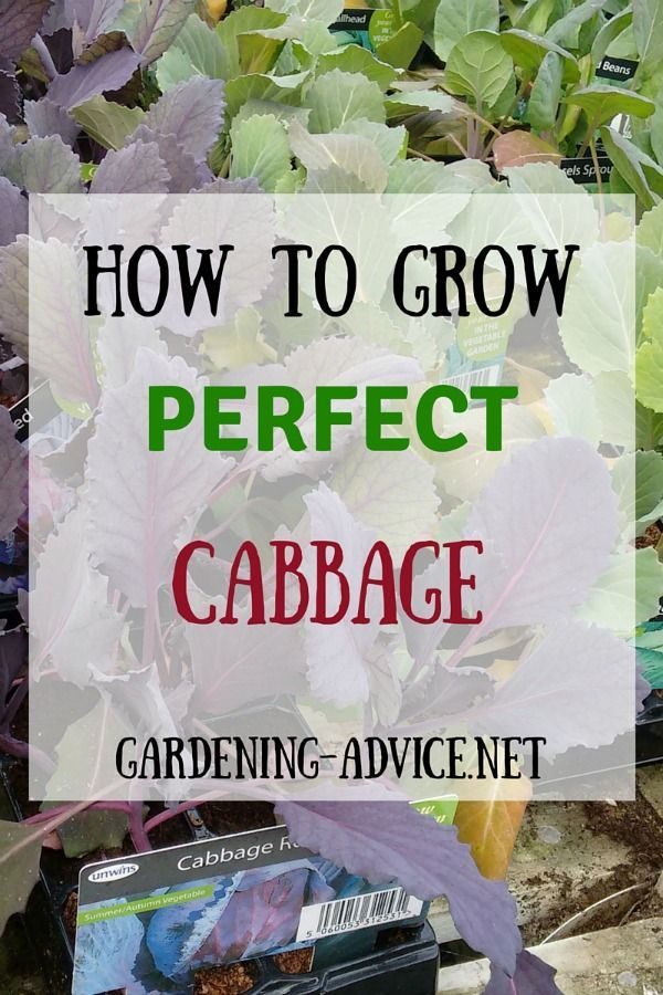Growing Cabbage is great for beginners because of its hardiness! Learn about sowing and planting cabbage and how to deal with cabbage pests.