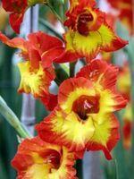 How to Preserve Gladiolus Bulbs thumbnail