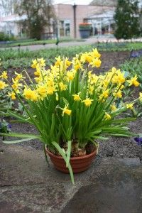 What to do with potted spring flower bulbs after flowers die. How to store and keep for next year.
