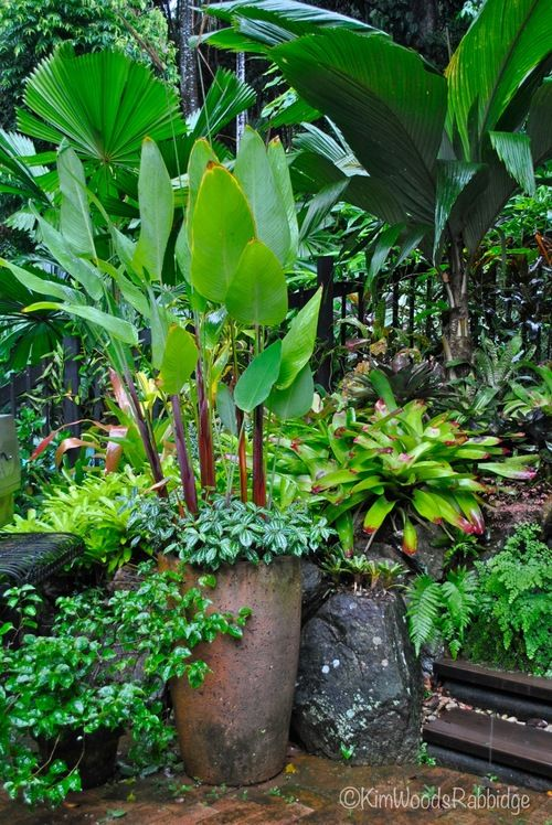 Tabu: Tropical Paradise in Cairns, Queensland - in the background are Licuala grandis and a paddle leaf palm - Pelagodoxa; and red-stemmed thalias shoot skyward from a tall pot fringed with aluminium plant
