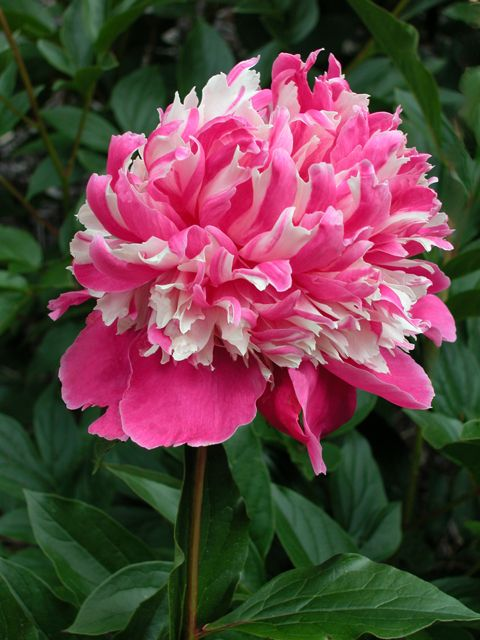 Rare Flower of Frosty Dew, herbaceous peony
