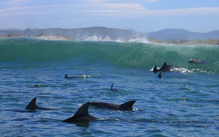 Dolphins - Knysna