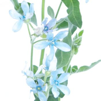 Tweedia flower light blue is a petite, delicate blue flower with hints of lavender. Perfectly preppy, its distinctive star-shaped flowers would be the perfect