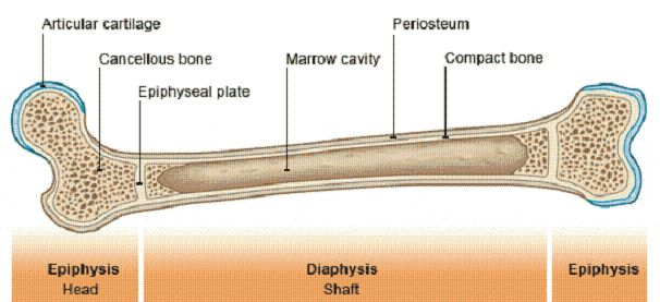 cancellous bone | Cancellous Bone Image-Cancellous Bone Pictures | Simple Health Secrets