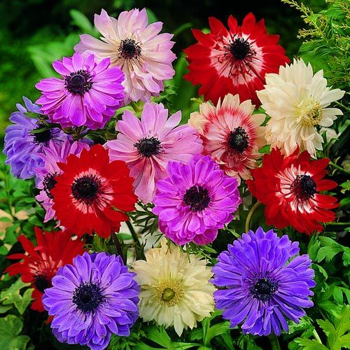 Anemone coronaria St Bridgid mix. Autumn Flowering Bulbs.   Double and semi-double flowers in red, pink white and violet-blue and finely divided bright green leaves.