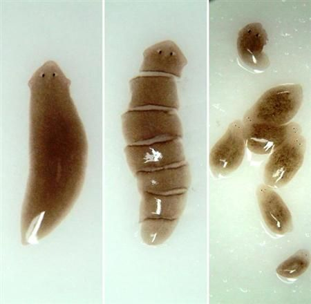 physiology of planarians Rate of oxygen consumption of small (young) as compared with large (old)  planarians belonging to three different species that the metabolic and other  activities.