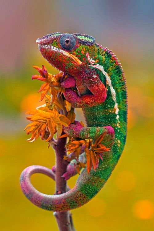 Colourful Chameleon. Not sure if this is a true colour photo, but pretty either way.