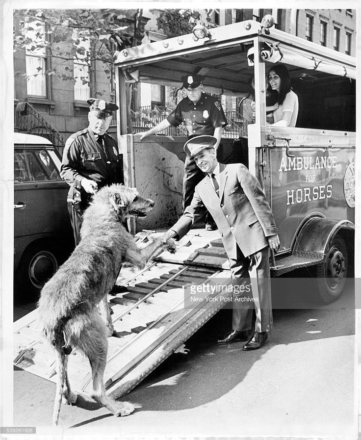 Abe, a 100-pound Irish Wolfhound with a heart ailment, is seen off by doorman Tim Allen as he boards the ASPCA horse ambulance for his semi-annual visit to the animal hospital. The dog, owned by Mrs. Richard Flender, standing in ambulance, is much too large to ride in a normal dog ambulance. October 04, 1967. (Photo by Arty Pomerantz/New York Post Archives / (c) NYP Holdings, Inc. via Getty Images)