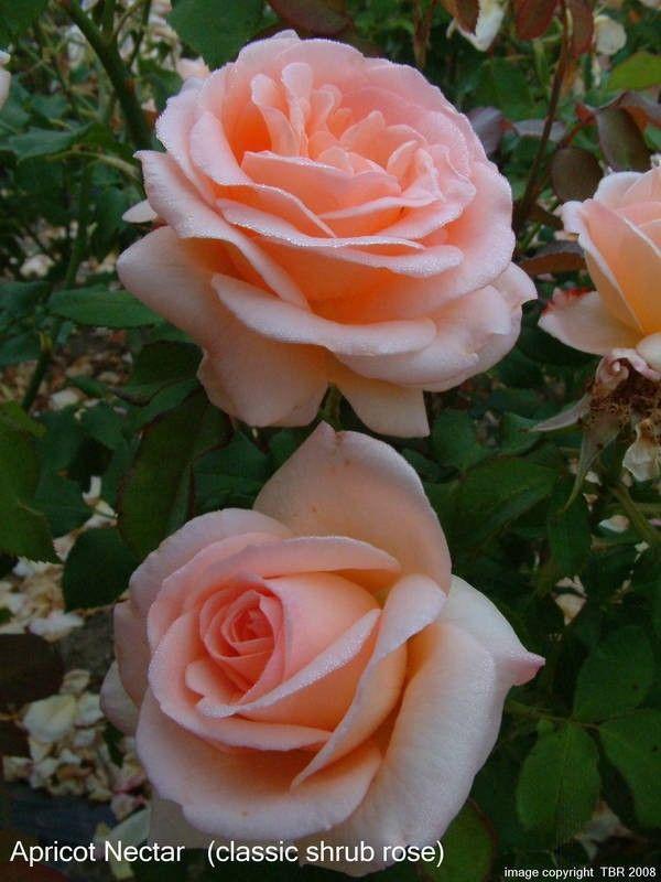 Apricot Nectar - Old Garden Roses - Rose Catalog - Tasman Bay Roses - Buy Roses Online in New Zealand