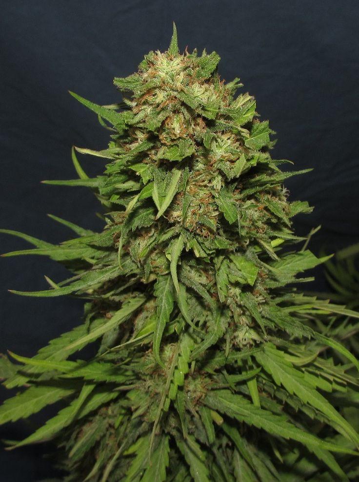 Cogollo de Big Mamut de BIG Seeds. Variedad rápida, potente y muy productiva. Más información y venta de semillas en www.bigseeds.es