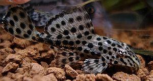 longfin bristlenose pleco | Pleco_Dwarf_Pleco_sp_Leopard.jpg