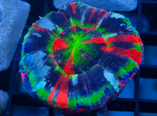 World Wide Corals | Buy corals online - LPS, SPS, Chalice, and soft corals for…