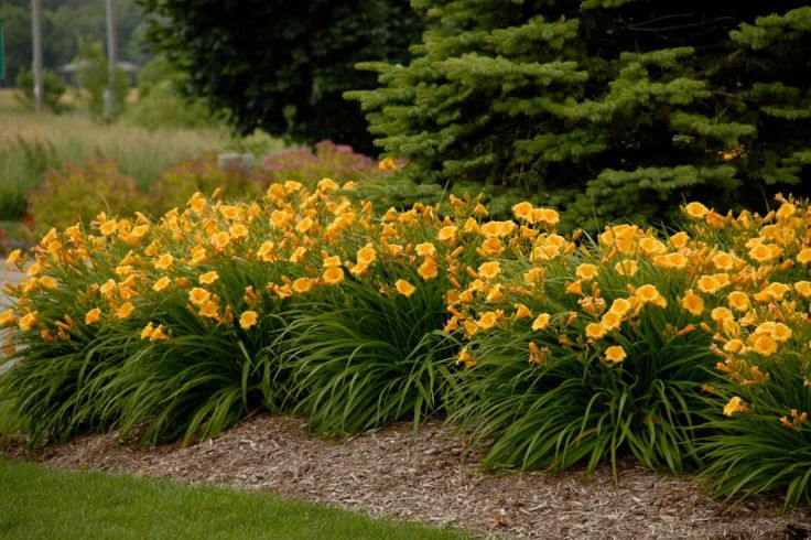 Browse HGTV Garden's collection of classic, new and unusual daylily varieties in an endless array of colors and shapes.