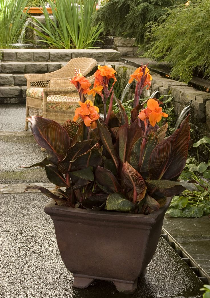 Tropicanna® Canna's tall stems are crowned by large bright orange flower heads. Exotic foliage adds interest, with emerging bright burgundy leaves maturing with stripes of red, pink, yellow, and green. This dramatic specimen provides bold color and lush texture to garden beds, or as a featured container specimen. Herbaceous perennial. Zone 7-11