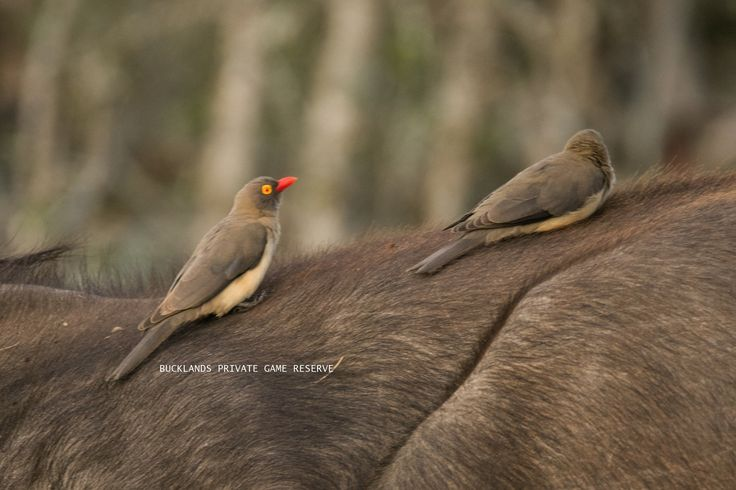 Red-billed Oxpecker on a Buffalo, looking for ticks to eat. #photography #birding #oxpeckers #bucklandsprivategamereserve  #bucklandswildlife #africa #southafrica