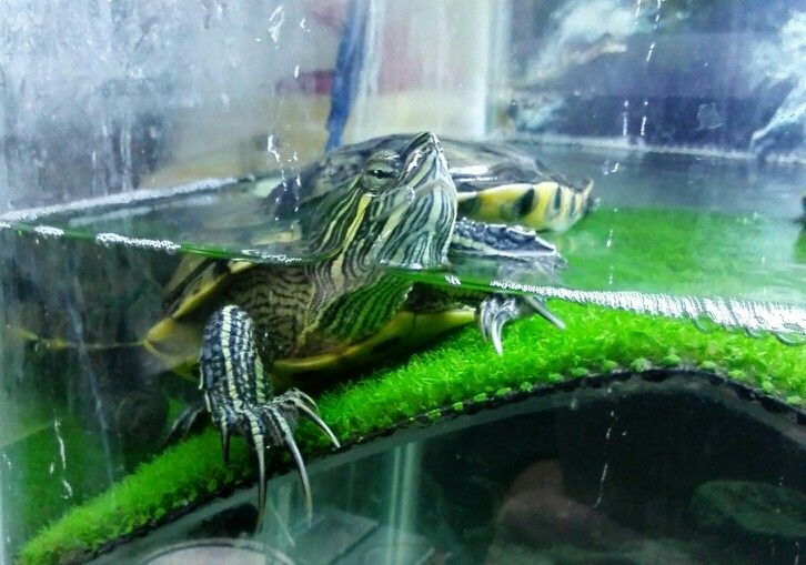 Male Yellow Belly Turtle