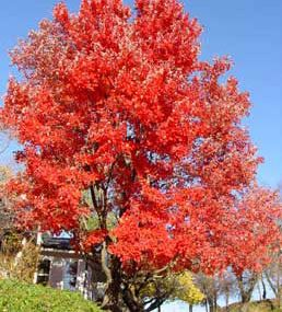 Red Sunset® Maple  Gorgeous in every season. This tree looks great all year round, producing small, red and yellow flowers in spring, medium to dark green leaves in summer, and spectacular, fire engine red foliage in autumn. Offers an impressive spread of shade. Matures to be 50' tall in full sun. Cold-hardy.