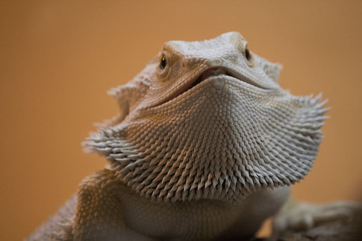 Bearded dragon body language: Beard flexing (ReptiFiles)