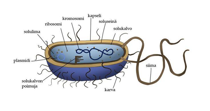 Bakteerin rakenne | Peda.net