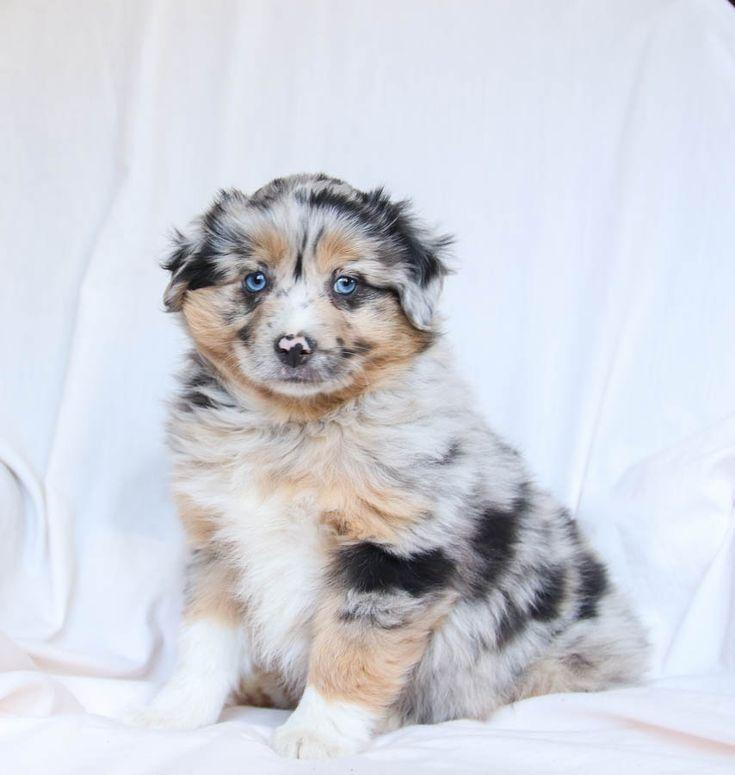 Park Art|My WordPress Blog_Australian Shepherd Puppies Oregon For Sale