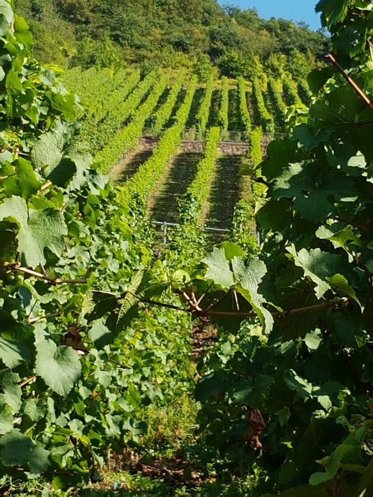 Een uitzicht waar ik elke keer weer een glimlach van om mijn gezicht krijg, de wijnranken in de Moezel. Absoluut mijn meest favoriete gebied om heen te gaan!  sienenco.nl