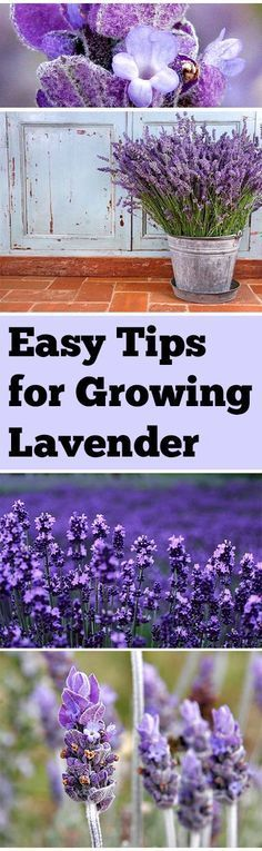 Container Gardening Design Ideas: Easy Tips for Growing Lavender