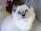 Our next cat (assuming Fate doesn't throw us a curve ball) is going to be a lilac or blue point Ragdoll. (They're big cats, go limp when you pick them up, and have no survival instincts.)