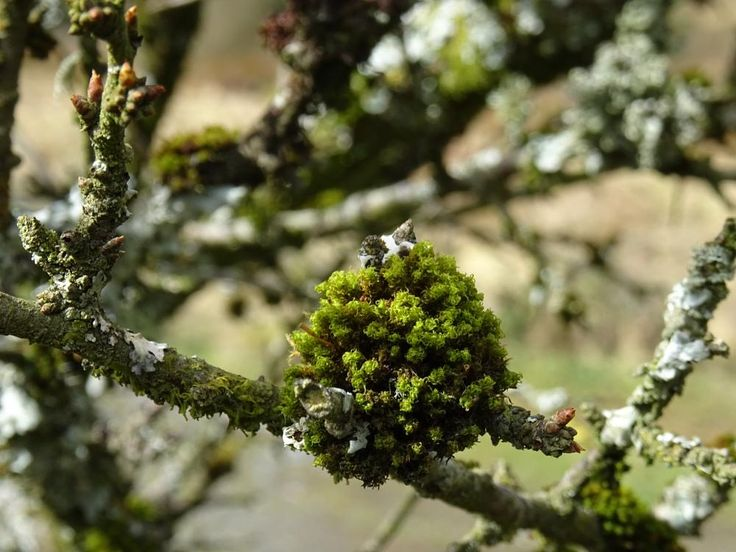 Little Green Ball Ulota Phyllantha (moss) on a Branch by A Place to Retire
