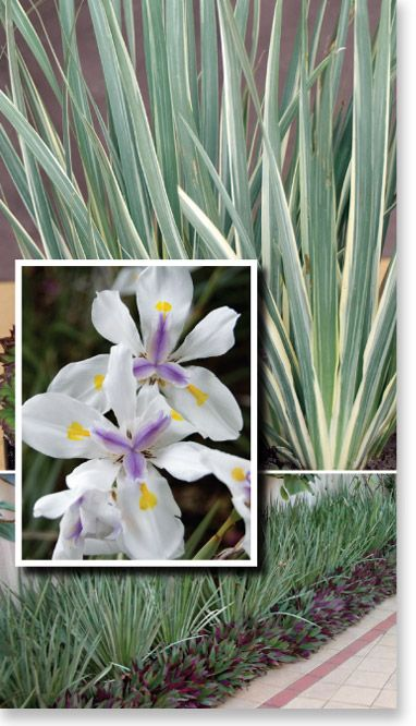 Plants Management Australia Pty Ltd .Frost hardy and dry tolerant once established.
