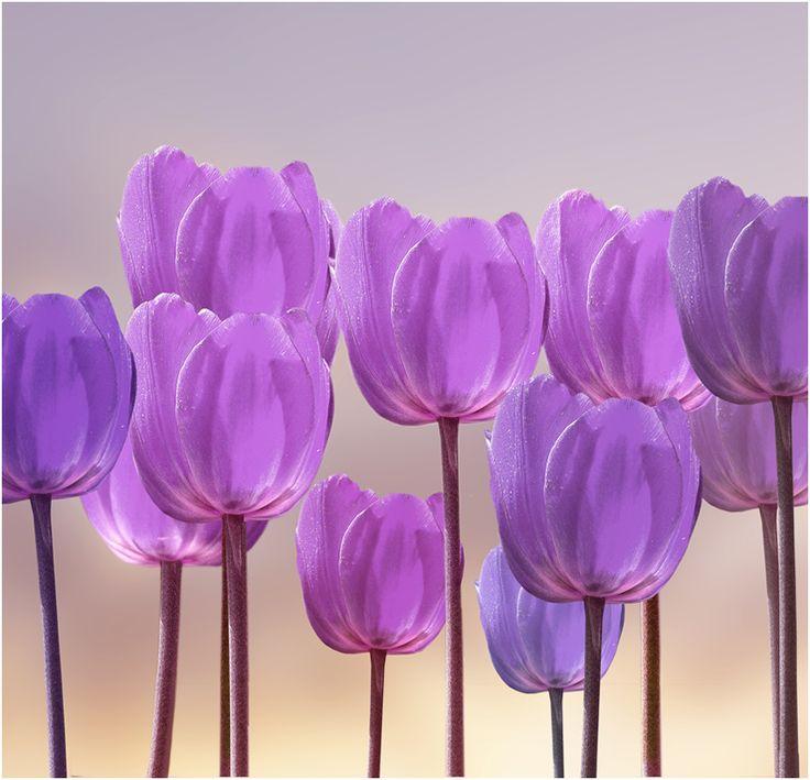 Lavender Tulips <3