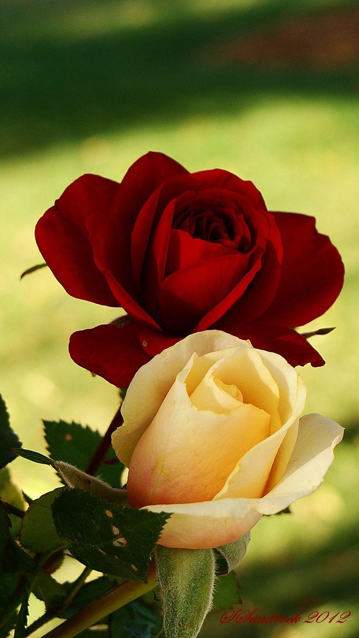Pin by SALWA ASHRAF as on Roses | Rose flower, Hybrid tea ...  |Beautiful White Rose Flowers