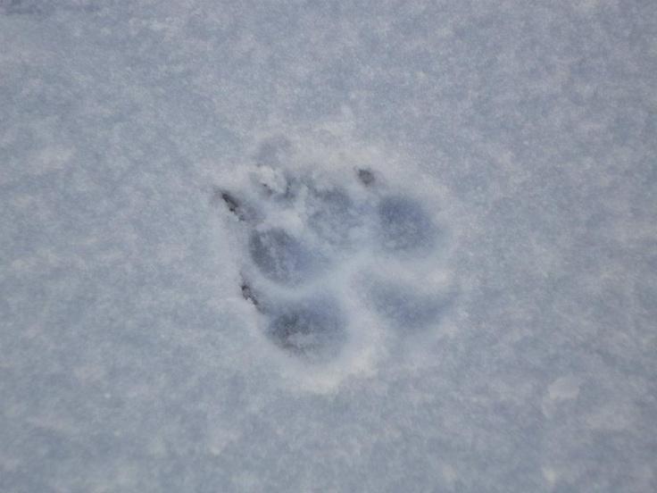 Wolf Tracks Vs Dog Tracks