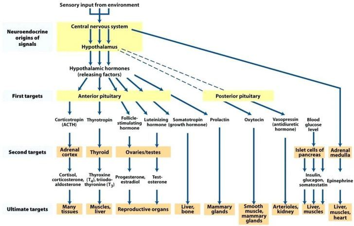 Endocrine System Flow Chart Yubad