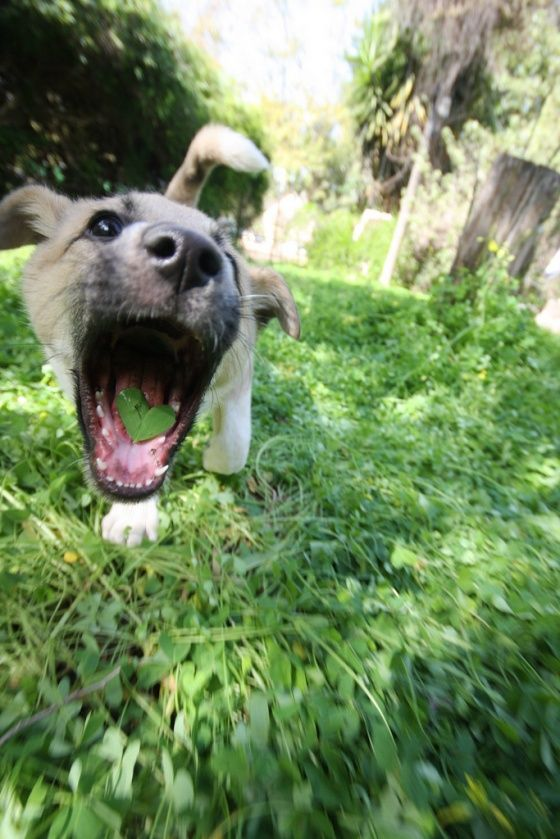 I brought you a leaf 'cuz I wuff you!: Dogs Pics, Healthy Stuff, Crazy Dogs, Heart, Funny Animal Pics, Pet, Mouths, Leaves, Happy Puppies