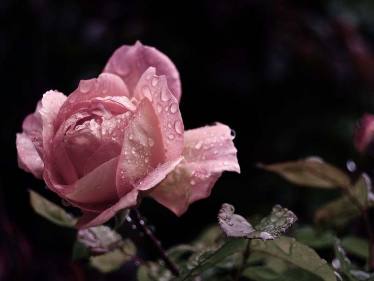 imágenes de flores, fondos de pantalla, vector de la hoja, fotos de lluvia, fondos brote color de rosa, gotas de material