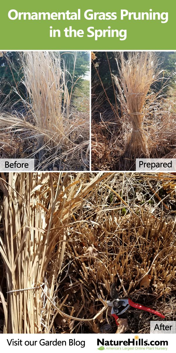 Think of your Ornamental #Grass plants like you would a lawn. In the spring it is best to remove the old, dry tops to allow the new grass to grow. A simple way to clean them up is to tie the clump together with some twine, trim off the stems close to the ground, and use the dried tops as mulch in your vegetable #garden or cut up and add to the compost pile.  If the clumps are large, you can divide them to be used in your yard or to share with your neighbors. #ProPlantTips