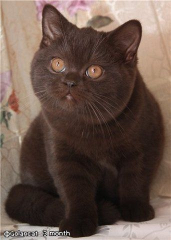 My next British Shorthair will either be chocolate or silver tabby...